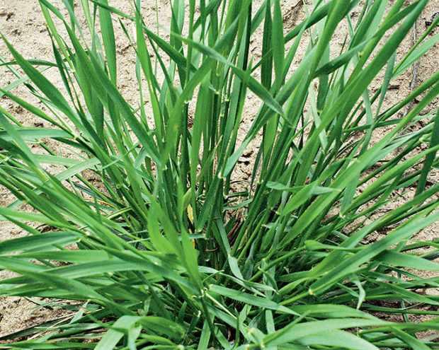 Кущение пшеницы