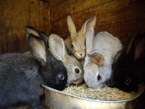 Зерновые для кролей дают постоянно