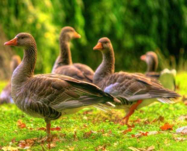 Серые дикие гуси - самая численная порода