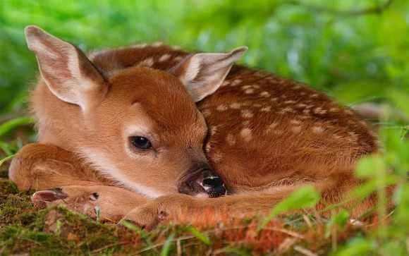 Новорожденный олененок в траве