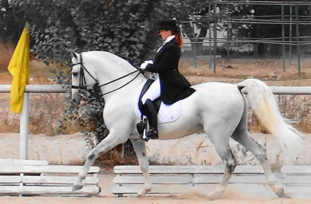 Выездка арабской лошади на соревнованиях