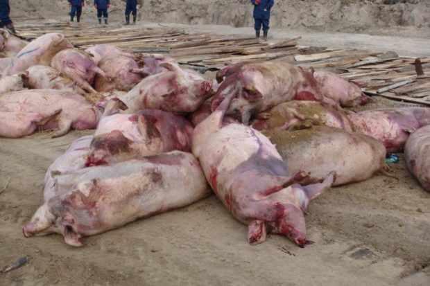 Классическая чума - погибшие свиньи