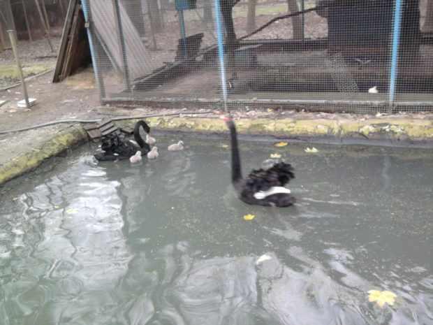 Вольера с прудом для лебедей