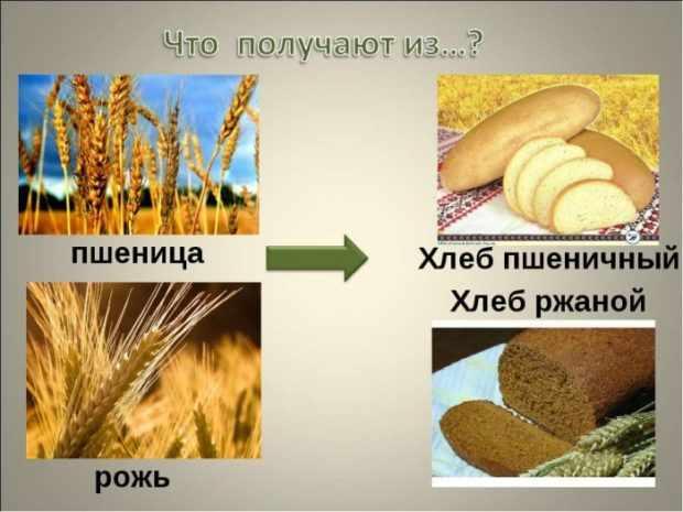 Рожь и пшеница