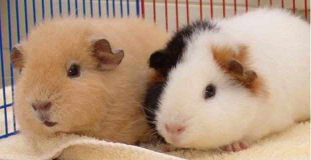 Официальные окрасы свинок тедди