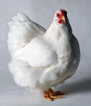 Саянский кросс, курица