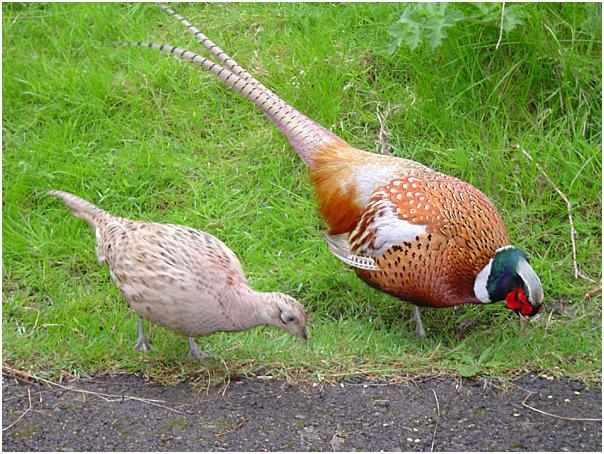 Фазан и фазанка - охотничья дичь