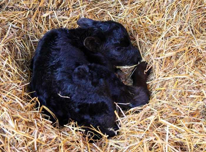 Новорожденный теленок