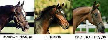 Оттенки гнедой масти лошадей