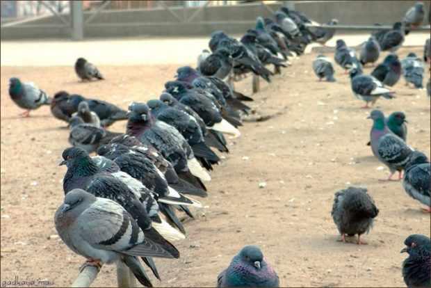 Голуби в городе переносят заболевания