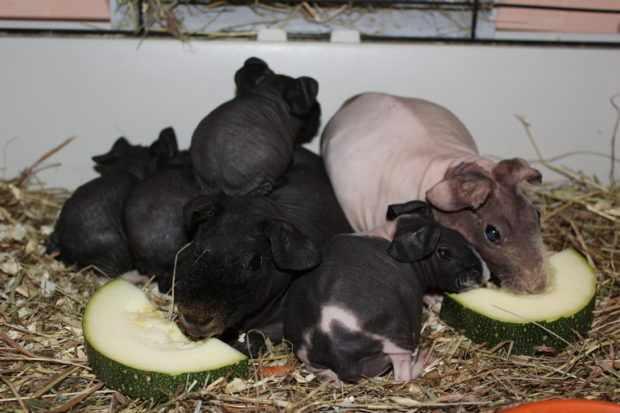 Семейство свинок скинни