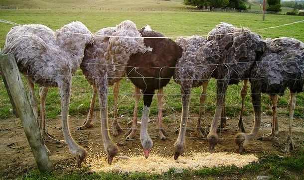 Кукуруза для страусов - основное зерно