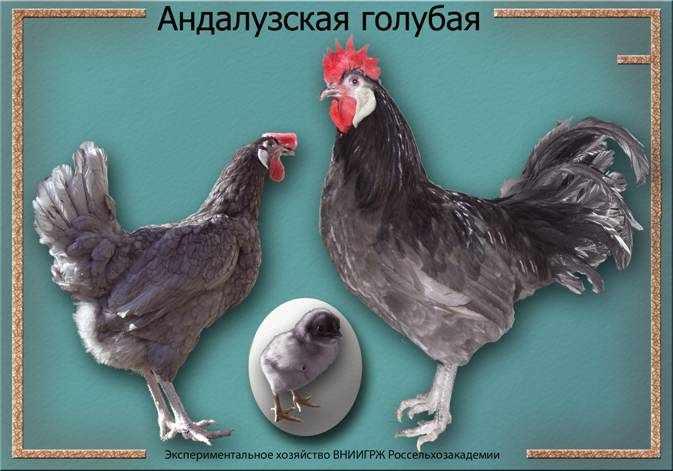 Андалузские куры