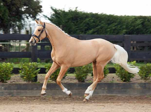 Венгерская порода коней