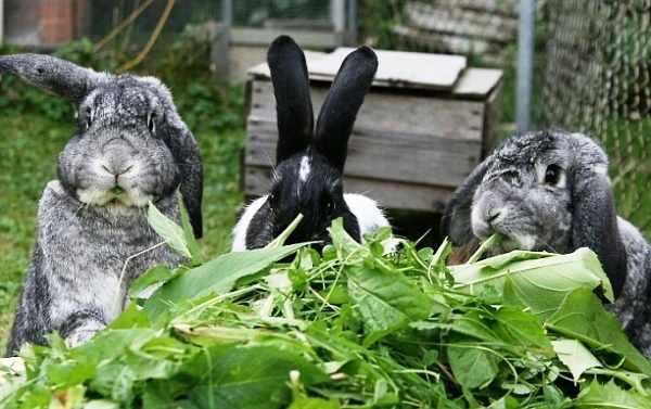 Зелень в рационе кроликов