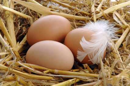 Яйца Кучинской породы