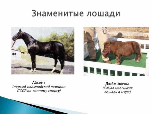 Знаменитые кони Абсент и Дюймовочка