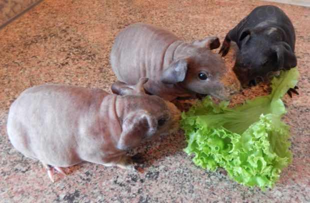 Маленькие свинки болдуинчики