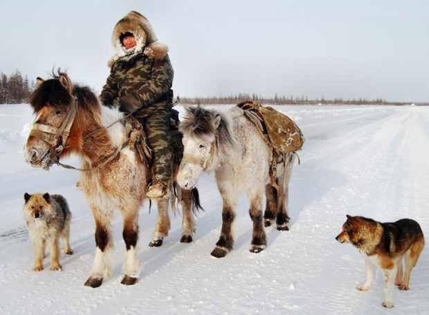 Якутские лошадки - незаменимые помощники
