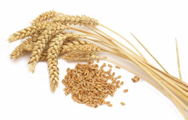 Яровая пшеница, сорт Злата