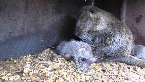 Самка нутрии рожает
