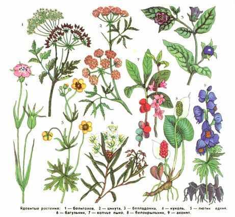 Ядовитые для шиншилл растения