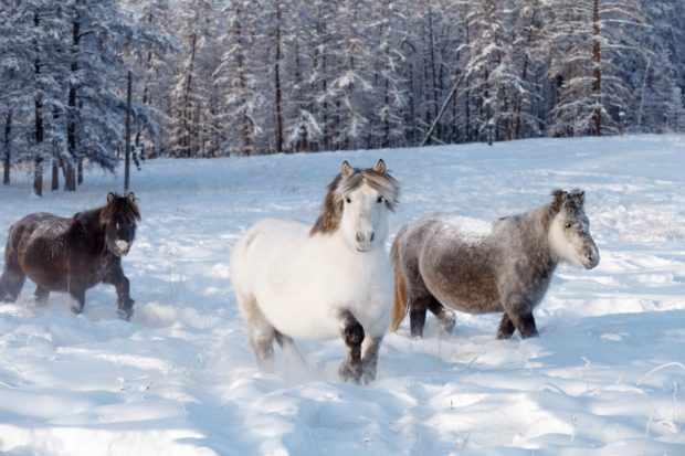 Якутские лошадки не боятся морозов