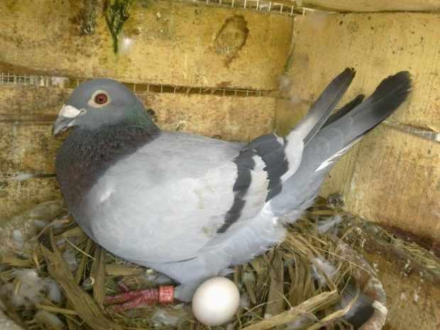 Голубка на гнезде и яйцо
