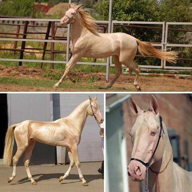 Изабелловая масть - ахалтекинская лошадь