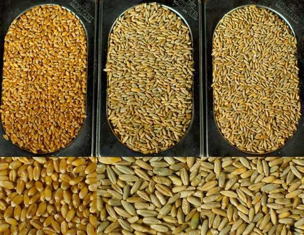 Сортовое разнообразие пшеницы