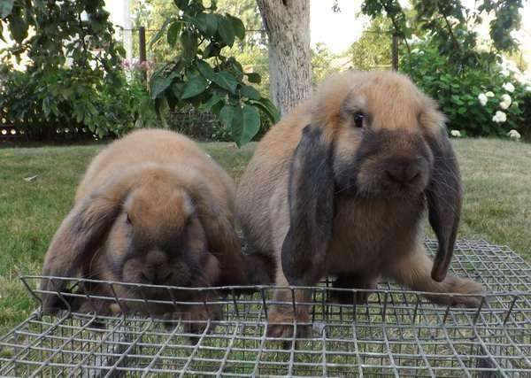 Французский бараны кролики