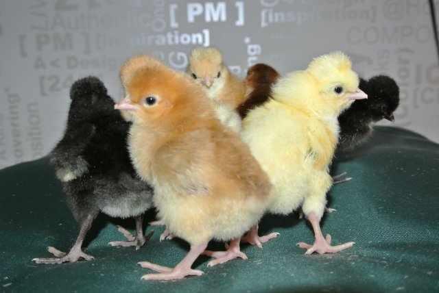 Цыплята хохлаток