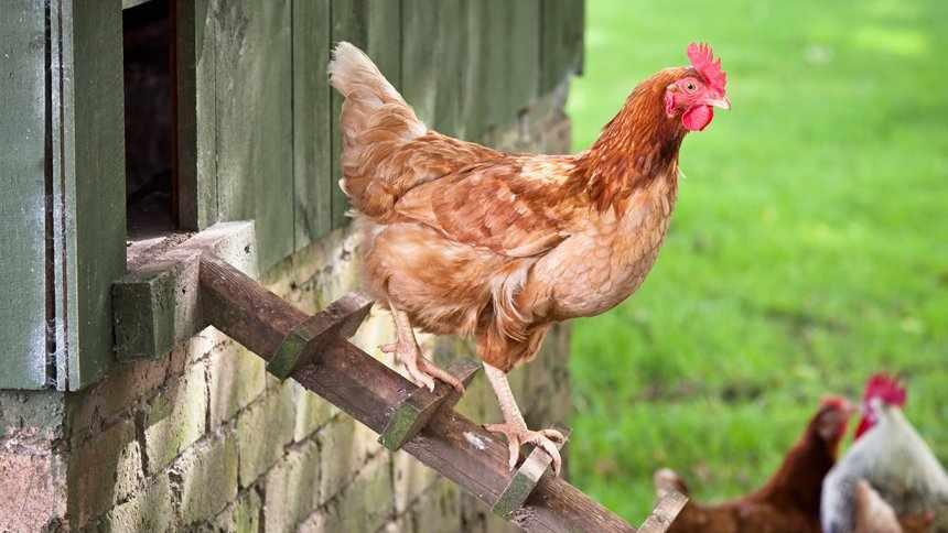 Курица Ломан Браун