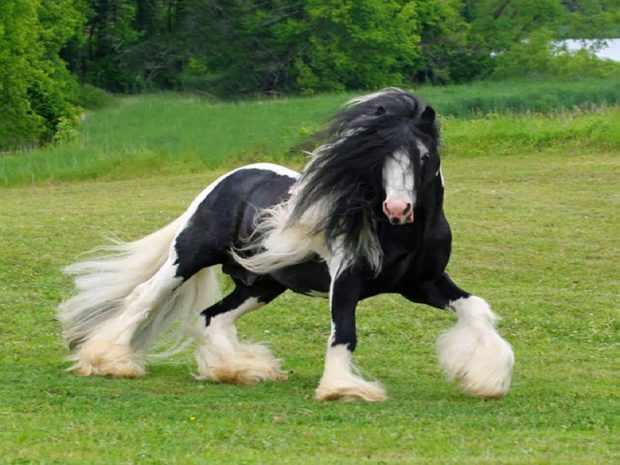 Шайрская лошадь - фото
