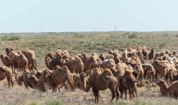 Стадо верблюдов на пастбище