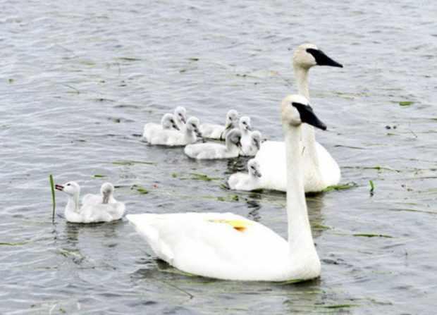 Семья американских лебедей