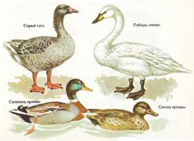 Лебедь и другие водоплавающие