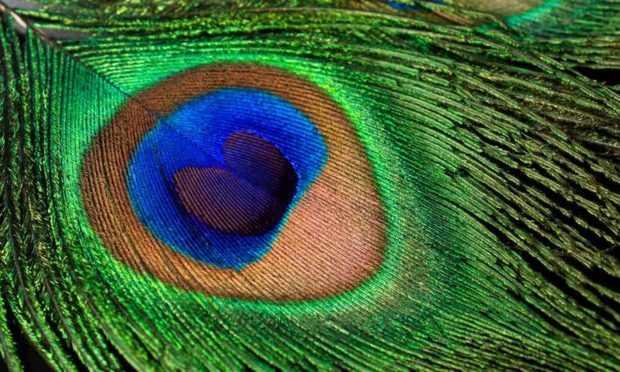 Глаз на хвосте павлина