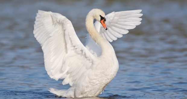 Белый лебедь - символ верности