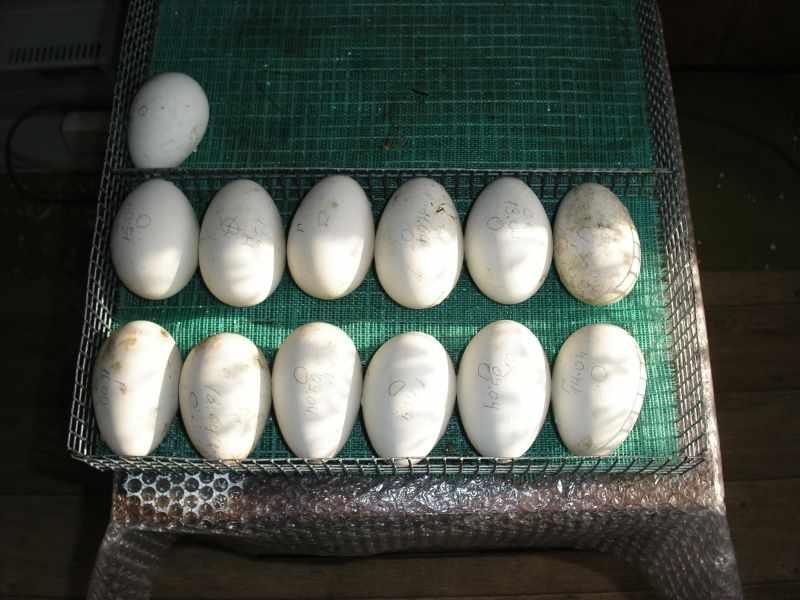 Яйца с метками