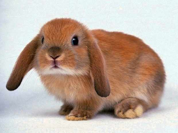 Кролик Английский баран