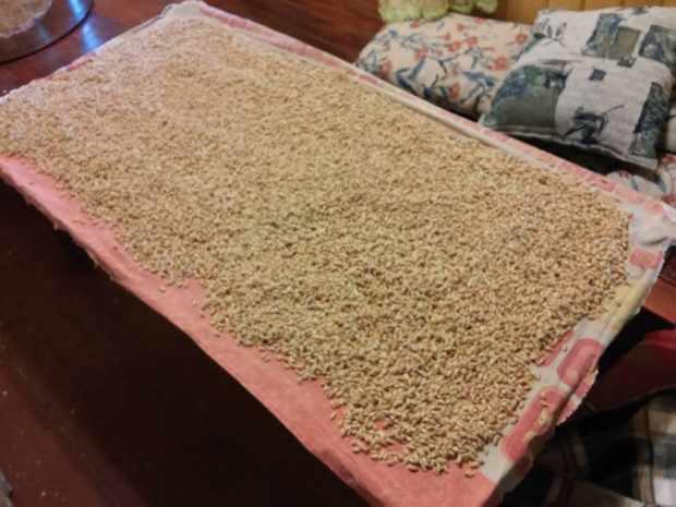 Просушка зерна в процессе проращивания