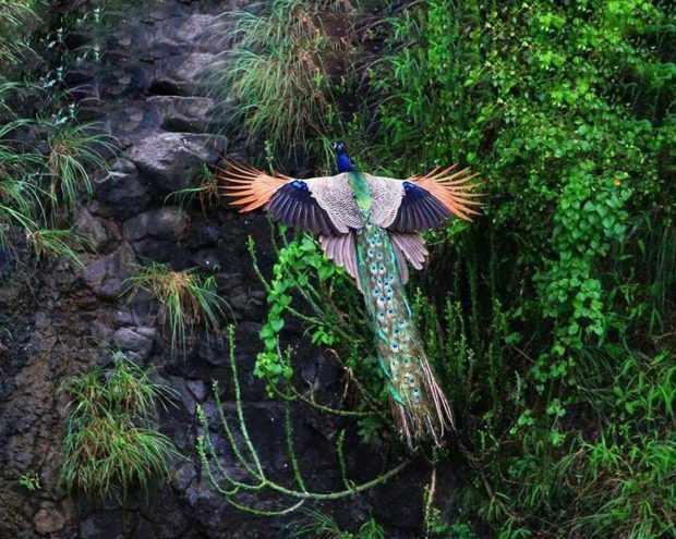 Вертикальный взлет павлина