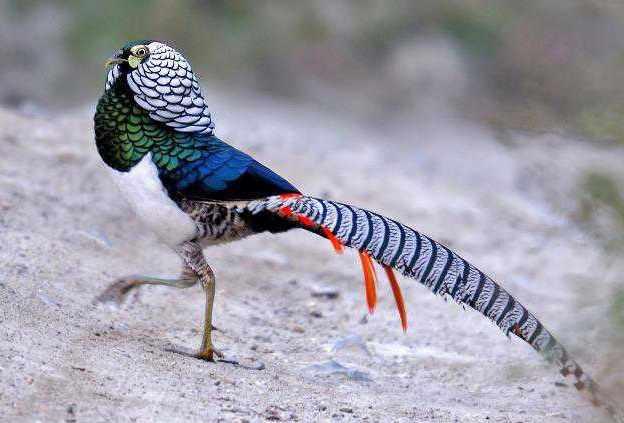 Алмазный фазан