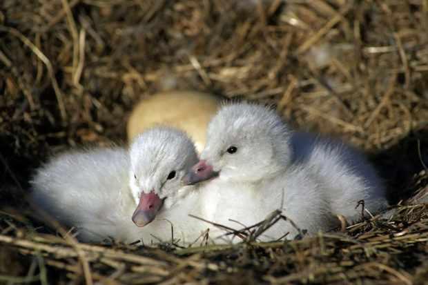 Птенцы и яйцо в гнезде