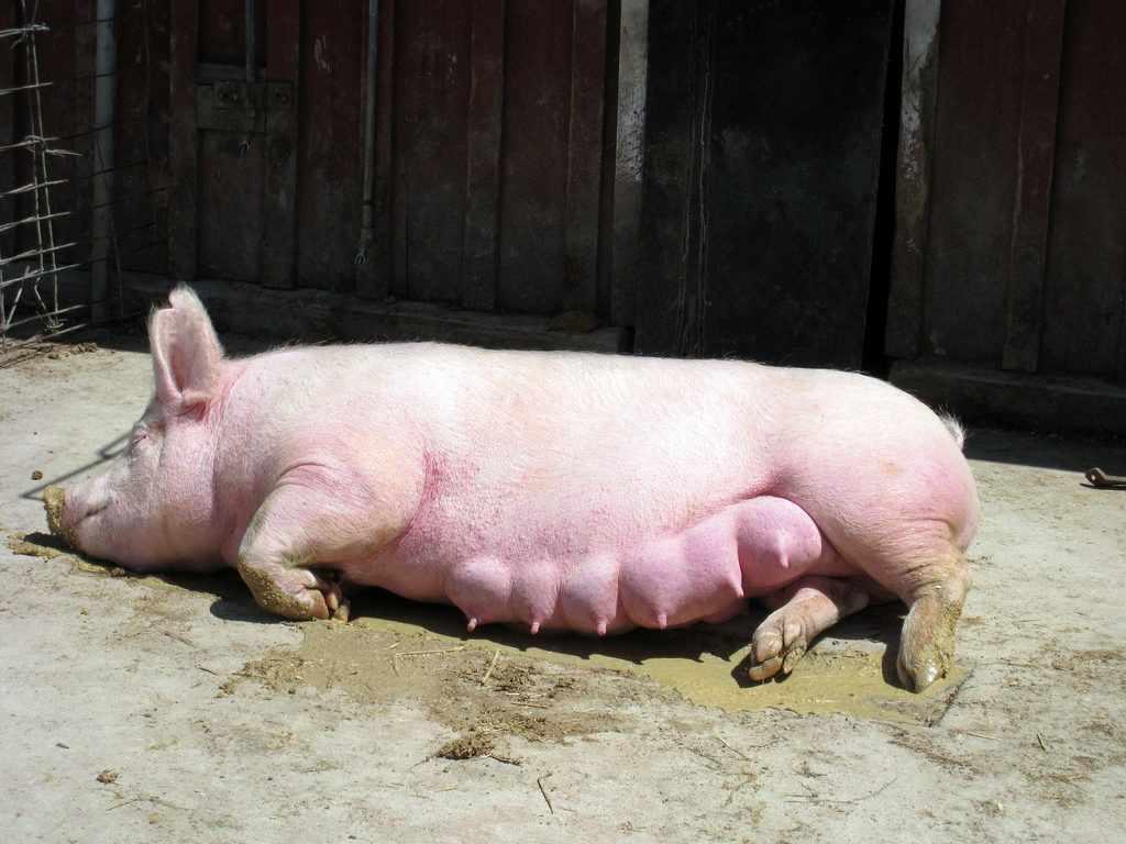 Беременная свинья