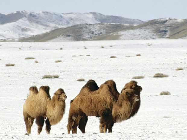 Верблюды зимой выдерживают очень сильные морозы