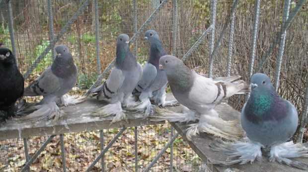 Одомашненные сизые голуби