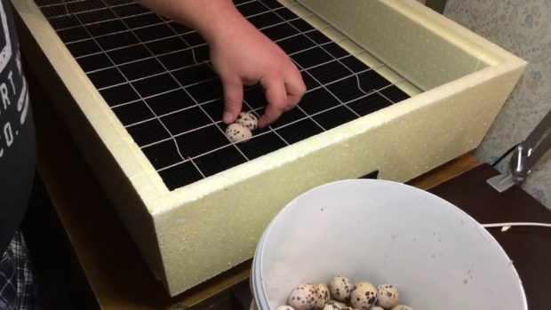 Закладка перепелиных яиц