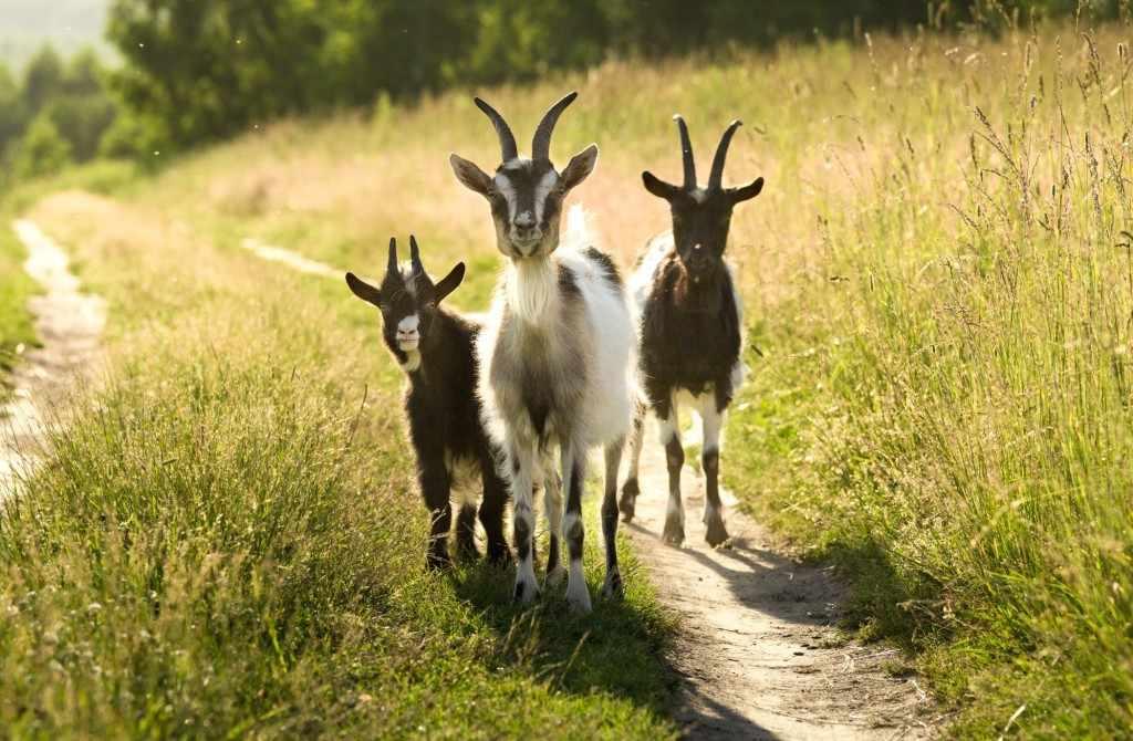 Три козла
